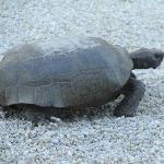 White Caps resident turtle
