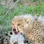 the cub on a kill