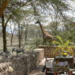 Girafe and zebras crossing while having lunch