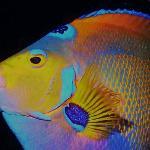 Queen angelfish face