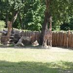 Giraffe *reach... just a little farther.....*