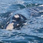 Wale vor der südafrikanischen Küste
