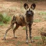 Cape Hunting Dog (or Wild Dog, or Painted Wolf).