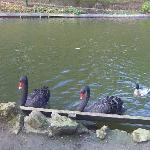 swans at peashome