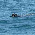 Lobo de mar