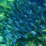 Lots of Blue fish