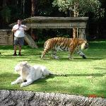 Dreamworld Gold Coast - The tiger show (22234316)
