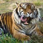 Sumatran Tiger Through glass - Orana Park, Christchurch