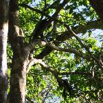howler monkeys hanging around above the pool