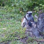 Red Colobus Monkey at nearby park reserve