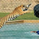 Tiger Splash Show