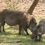 Warthogs outside our rooms