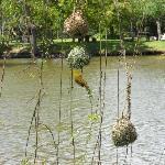 Weverbirds nests at Spier Wine Estate