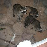 Racoons along river walk