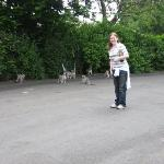 The Lemurs run wild at the belfast Zoo!