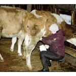 Vera trait la vache