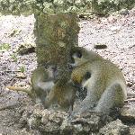 Green Monkey family