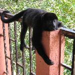 Howler monkey in nearby Muelle