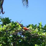 Scarlet Macaw in almond tree on the beach.