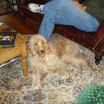 Cody- the Golden Doodle