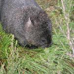Wombat right near lodge