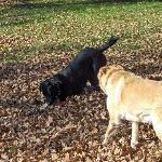 Dogs playing in the fall leaves.