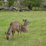 Tame kudu