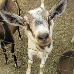 How cute is this goat???