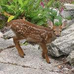 Young Fawn in the Garden