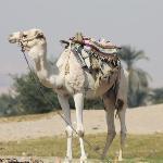 Camel on West Bank