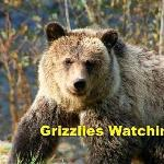 Grizzlies playing and fishing
