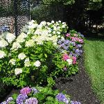 Hydrangeas bordering the swimming pool fence