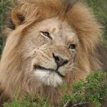 Addo Male lion