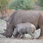 parent/child rhinos grazing