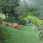 Ernesto and a young guest herding sheep through the gardens