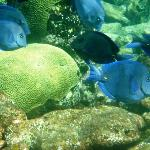 School of Blue Tang at Long Reef