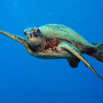 Honu - Hawaiian green sea turtles are commonly sighting while diving Maui and Lanai