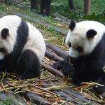 Chengdu, where the pandas did their best to entertain us