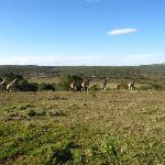 Giraffes and view over Schotia