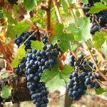 Grapes at the Vineyards