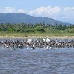 pelicanos y cormoranes