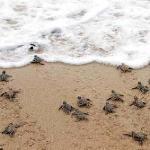 Liberacion de tortugas en la barra de Coyuca