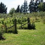 Vinyard and Olive grove