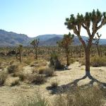 The Joshua Tree is known to grow in just two places on Earth.  Here and somewhere near Jerusalem