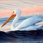 White Pelican  in nearby park