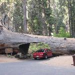 Tree tunnel in Sequoia National park