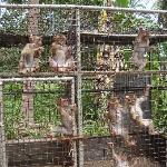 Monkeys in cramped, dirty cages.