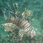 Lion fish seen during snorkeling