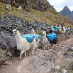 Alpaca express... :)