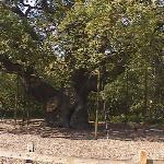 Nottingham, England Sherwood Forest The old oak tree Robin Hood Festival 07
